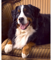 bernese mt dog