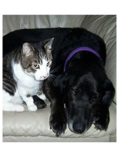 tabby cat and labrador dog