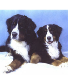 two bernese mt dogs